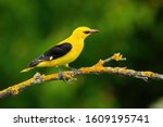 Male adult golden oriole ...