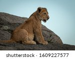 Lion Cub Sits On Rock Looking...