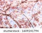 Closeup Of Pink Cherry Blossom...