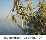 Small photo of This photo describes beautiful trees on the Black Sea