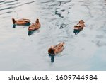 Ducks In The Pond.  Pond In A...