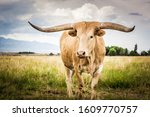 A Lone Texas Longhorn In The...