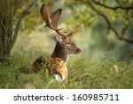 Fallow Deer During The Rutting...