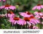 Purple Cone Flower Echinacea...