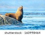 Steller Sea Lions Resting On...