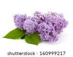 blooming lilac flowers | Shutterstock . vector #160999217