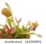 Venus Flytrap  Dionaea  On A...