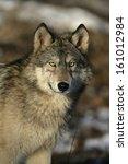 Grey Wolf  Canis Lupus  Single...
