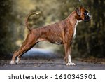 Red Dog Breed German Boxer