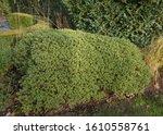Winter Foliage Of An Evergreen...