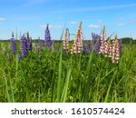 Floral Field Of Wild Lupine Or...
