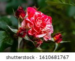 Red White Two Color Pied Roses