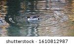 Duck On Water Scene. Duck Wate...