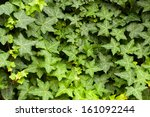 english ivy 'hedera helix' is a ... | Shutterstock . vector #161092244