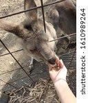 Hand Feed Baby Kangaroo And...