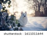 Japanese Spitz In The Park In...