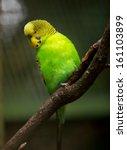 Cute Little Budgie Bird Close Up