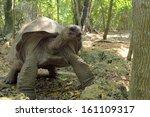 Stock photo an aldabra giant tortoise aldabrachelys gigantea moving in the forest zanzibar island tanzania 161109317