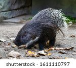 The Indian Crested Porcupine ...