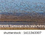 Snow Geese Migration In The...