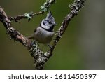 European Crested Tit ...