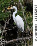 Great Egret Perched In A Falle...