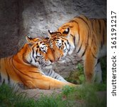 tiger's couple. love in nature. | Shutterstock . vector #161191217