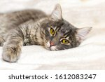Small photo of Sad sick young gray cat lies on a white fluffy blanket in a veterinary clinic for pets. Depressed illness and suppressed by the disease animal looks at the camera. Feline health background.