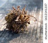 Chestnut In An Open Peel In A...