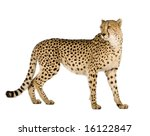 Cheetah   Acinonyx Jubatus In...