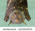 Eastern Tube Nosed Bat In Care...