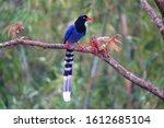 Taiwan blue magpie  urocissa...