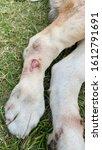wart on dog skin at leg position   Shutterstock . vector #1612791691