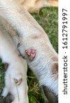 wart on dog skin at front leg...   Shutterstock . vector #1612791997