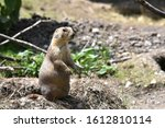 A Sweet Prairie Dog Is Watching ...