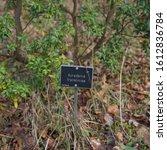 "Small photo of Botanical Identification Label for ""Acradenia frankliniae"" (Whitey Wood Shrub Native to Tasmania) on a Hillside in a Woodland Garden in Rural Devon, England, UK"
