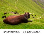 Brown Cow Lying Down On A Green ...