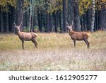 Two Young Male Deer Flaunt On...
