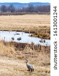 Resting Cranes On A Field With...