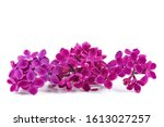 Purple Lilac Flowers Isolated...