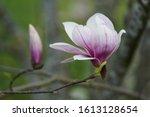 The Beauty Of Single Magnolia.