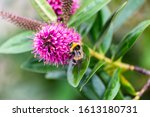 A Buff Tailed Bumble Bee Bombus ...