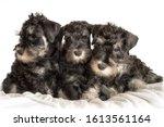 Three Schnauzer Puppies Laying...