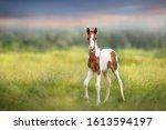 Pinto Foal Walk On Meadow
