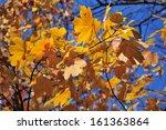 maple foliage in autumn colors | Shutterstock . vector #161363864
