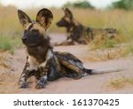 Two Wild Dog  Lycaon Pictus ...