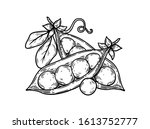 green peas. hand drawn pea... | Shutterstock .eps vector #1613752777