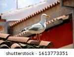 Seagull Portrait. Close Up Vie...