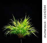 Isolated Ornamental Grass On...