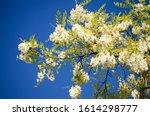 White Blossom Flowers Of Black...